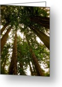 Redwood Greeting Cards - Canopy Convergence Greeting Card by Tamara Stoneburner