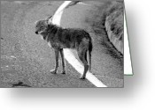 Sly Greeting Cards - Coyote on the road Greeting Card by David Lee Thompson