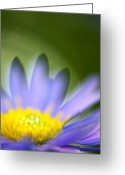 Aster  Photo Greeting Cards - Fall Flower Greeting Card by Silke Magino
