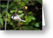 Intent Greeting Cards - Feeding Black-capped Chickadee Greeting Card by Al  Mueller