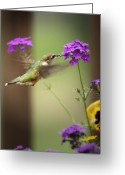 Feed Greeting Cards - Feeding Hummingbird Greeting Card by Al  Mueller
