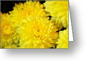 Cultivars Greeting Cards -  A yellow chrysanthemum symbolizes slighted love Greeting Card by Debra  Miller