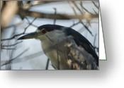 Heron.birds Greeting Cards -  Black crowned Night Heron Greeting Card by Ernie Echols