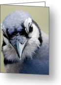 Wildlife Photos Greeting Cards -  Blue Jay Greeting Card by Skip Willits
