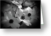 Dogwood Blossom Greeting Cards -  Dogwood Blossoms-Bk-Wh-V Greeting Card by Eva Thomas