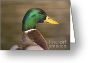Eat Free Greeting Cards -  Duck portrait Greeting Card by Odon Czintos