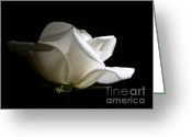 Cream Roses Greeting Cards -  Evening Light White Rose Flower Greeting Card by Jennie Marie Schell