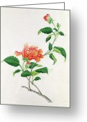 Georg Greeting Cards -  Hibiscus Greeting Card by Georg Dionysius Ehret