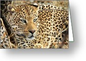 Whiskers Photo Greeting Cards -  Leopard Eyes Greeting Card by Tom Cheatham