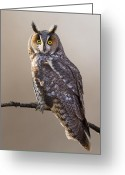 Brown Eyes Greeting Cards -  Long-eared Owl Greeting Card by Mircea Costina Photography