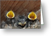 History Pyrography Greeting Cards -  Raising baby birds  www.pictat.ro Greeting Card by Preda Bianca Angelica