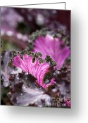 Patty Malajak Greeting Cards -  Red Cabbage Greeting Card by Patty Malajak