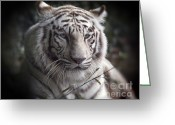 Watchful Eye Greeting Cards -  The Tigers  Watchful Eye Greeting Card by H G Mielke