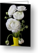 Ranunculus Greeting Cards -   White ranunculus in yellow vase Greeting Card by Garry Gay