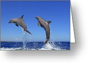 Bottle-nosed Dolphin Greeting Cards - Delfin (grosser Tuemmler) Greeting Card by Tier Und Naturfotografie J und C Sohns