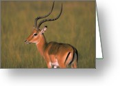 Curved Horns Greeting Cards -  Impala Greeting Card by Carl Purcell