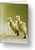 Canada Goose Greeting Cards - 1 2 3 Go Greeting Card by Mircea Costina Photography