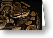 Captive Animals Greeting Cards - A Ball Python Python Regius Greeting Card by Joel Sartore