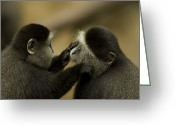 Captive Animals Greeting Cards - A Blue Monkey Cercopithecus Mitis Greeting Card by Joel Sartore