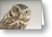 Burrowing Owl Greeting Cards - A Burrowing Owl Athene Cunicularia Greeting Card by Joel Sartore