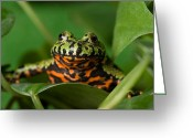 Toad Greeting Cards - A Fire-bellied Toad Bombina Orientalis Greeting Card by Joel Sartore