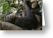 Resting Animals Greeting Cards - A First-time Mother Chimpanzee Reclines Greeting Card by Frans Lanting