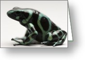 Poison Greeting Cards - A Green-and-black Poison Dart Frog Greeting Card by Joel Sartore