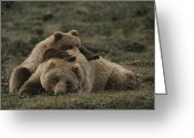 Grasslands Greeting Cards - A Grizzly Mother And Her Cub Lounge Greeting Card by Michael S. Quinton