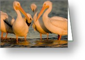 Sanibel Island Greeting Cards - A Group Of American White Pelicans Greeting Card by Tim Laman