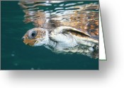 Sea Turtles Greeting Cards - A Juvenile Endangered Loggerhead Turtle Greeting Card by Brian J. Skerry