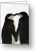 Chin Greeting Cards - A Pair Of Chinstrap Penguins Greeting Card by Ralph Lee Hopkins