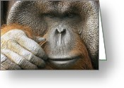 Orangutans Greeting Cards - A Portrait Of A Captive Male Orangutan Greeting Card by Norbert Rosing