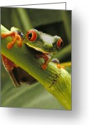 Red-eyed Frogs Greeting Cards - A Red-eyed Tree Frog Agalychnis Greeting Card by Steve Winter