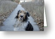 Sheltie Greeting Cards - A Sheltie Dog Smiles While Sitting Greeting Card by Joel Sartore