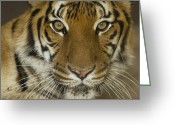 Captive Animals Greeting Cards - A Siberian Tiger Panthera Tigris Greeting Card by Joel Sartore