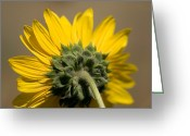 Lewistown Greeting Cards - A Sunflower In Eastern Montana Greeting Card by Joel Sartore