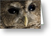 Threatened Species Greeting Cards - A Threatened Northern Spotted Owl Greeting Card by Joel Sartore
