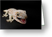Portraits Photo Greeting Cards - A Tokay Gecko Gekko Gecko At The Sunset Greeting Card by Joel Sartore