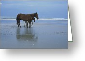 Atlantic Beaches Greeting Cards - A Wild Mare And Foal On The Beach North Greeting Card by Stephen Alvarez