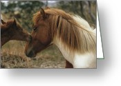 Wild Horses Greeting Cards - A Wild Pony Foal Nuzzling Its Mother Greeting Card by James L. Stanfield