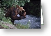 Grizzly Bears Greeting Cards - A Young Grizzly Bear Ursus Arctos Greeting Card by Paul Nicklen
