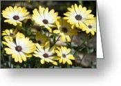 Buttermilk Greeting Cards - African Daisy (osteospermum buttermilk) Greeting Card by Dr Keith Wheeler