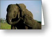 Flexibility Greeting Cards - African Elephants Loxodonta Africana Greeting Card by Beverly Joubert