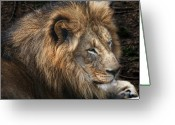 Male Photo Greeting Cards - African Lion Greeting Card by Tom Mc Nemar