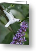 White Flower Greeting Cards - Albino Ruby-Throated Hummingbird Greeting Card by Kevin Shank Family