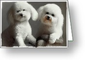 Bichon Greeting Cards - All Smiles Greeting Card by Lynn Andrews