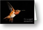 S. California Greeting Cards - Allens Hummingbird Greeting Card by Carl Jackson