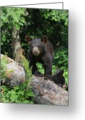 Black Bear Cubs Greeting Cards - Am I Cute Or What Greeting Card by Gerry Sibell