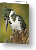 Amazon Greeting Cards - Amazon Kingfisher Male Greeting Card by Tony Camacho