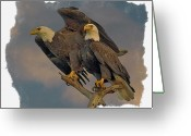 Bald Eagle Digital Art Greeting Cards - American Bald Eagle Pair Greeting Card by Larry Linton